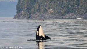 Orca spyhopping