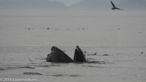 Humpback whale, mouth agape feeding
