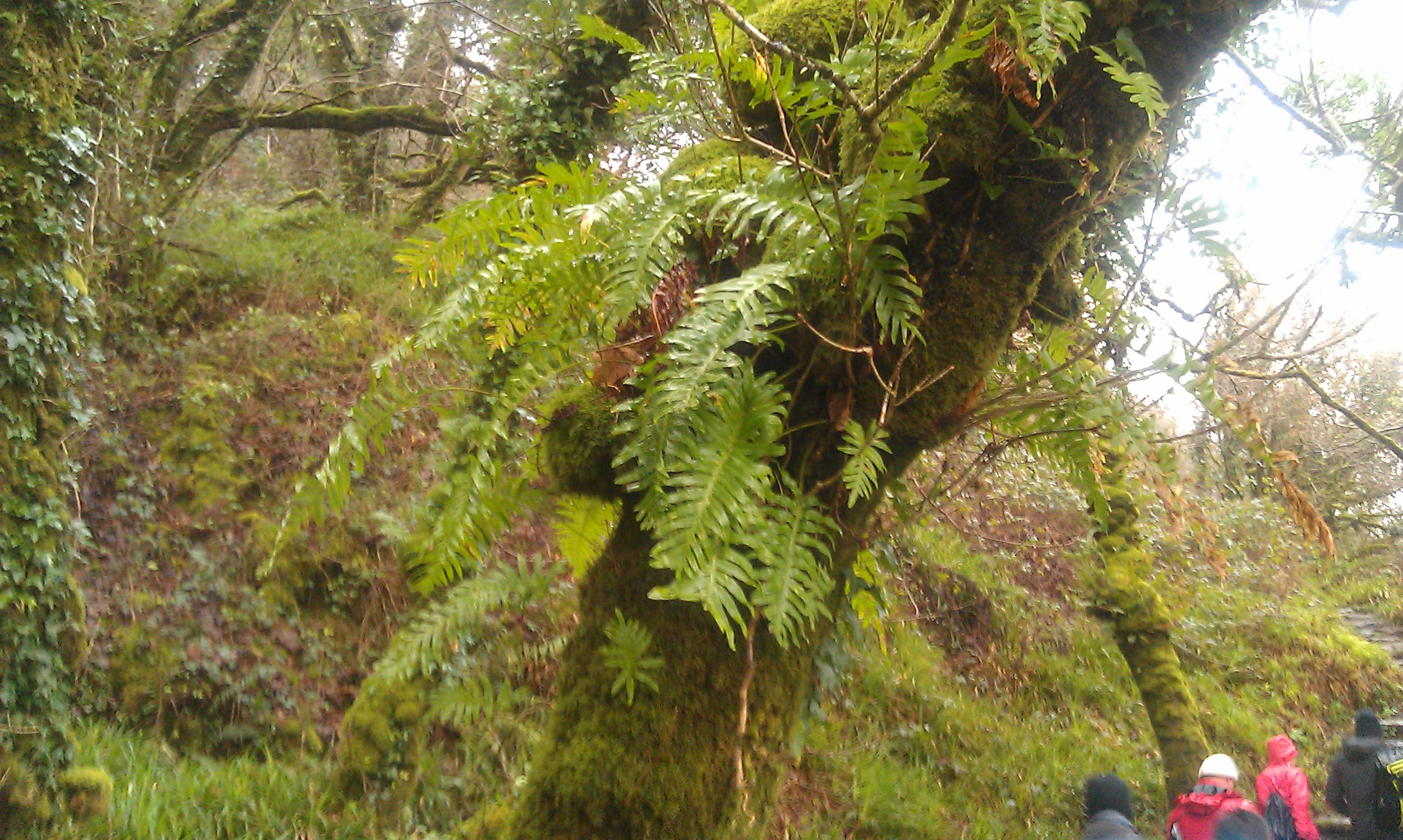 Lush canopy of fern in Knockomagh forest
