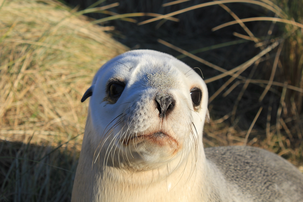 Adult female New Zealand sea lion