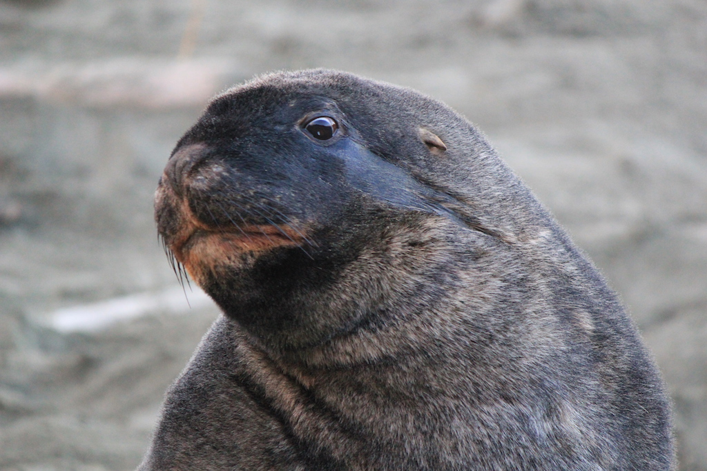 Adult male sea lion