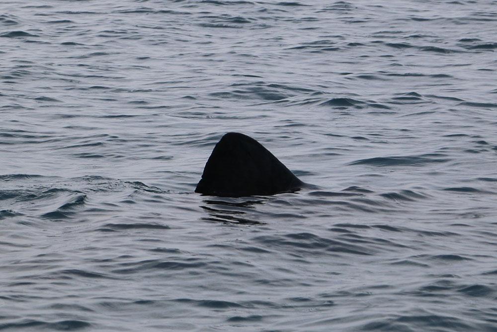 Basking shark fin-Photo credit Cian Walsh