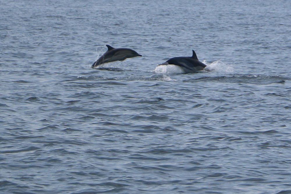 Common dolphin jumping-Photo credit Cian Walsh
