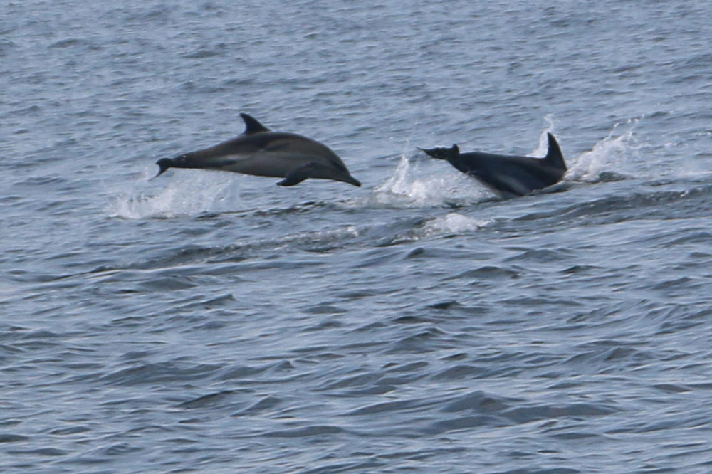 Common dolphins Jumping -Photo credit Cian Walsh