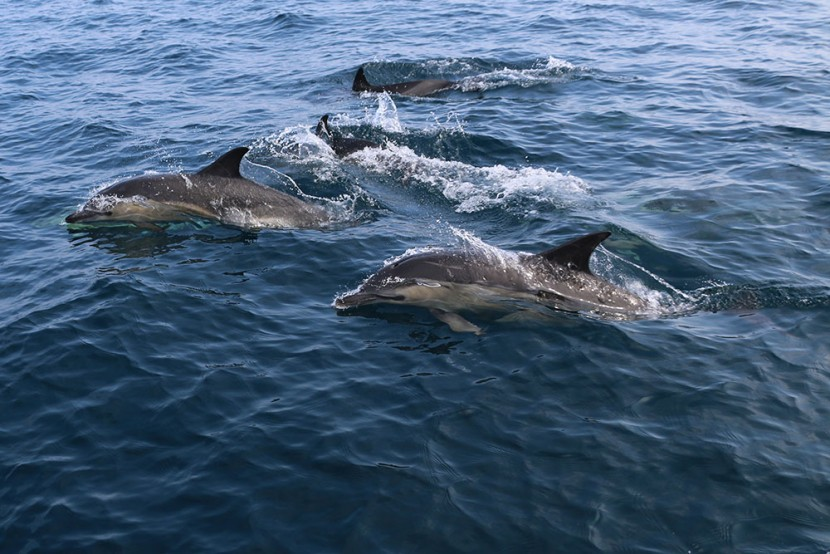 Pod off common dolphins bow riding -Photo credit Cian Walsh