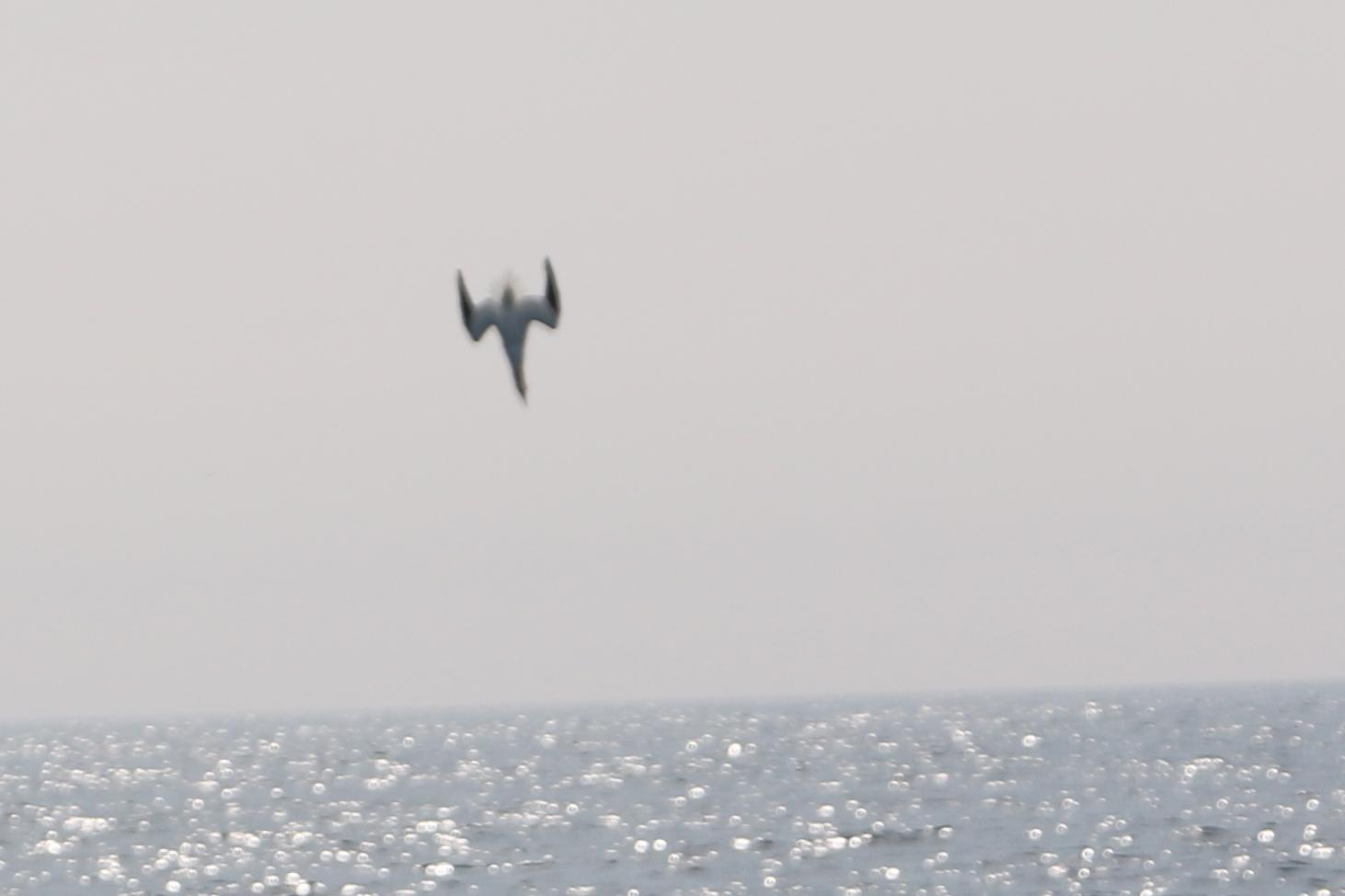 Gannet diving -Photo credit Cian Walsh