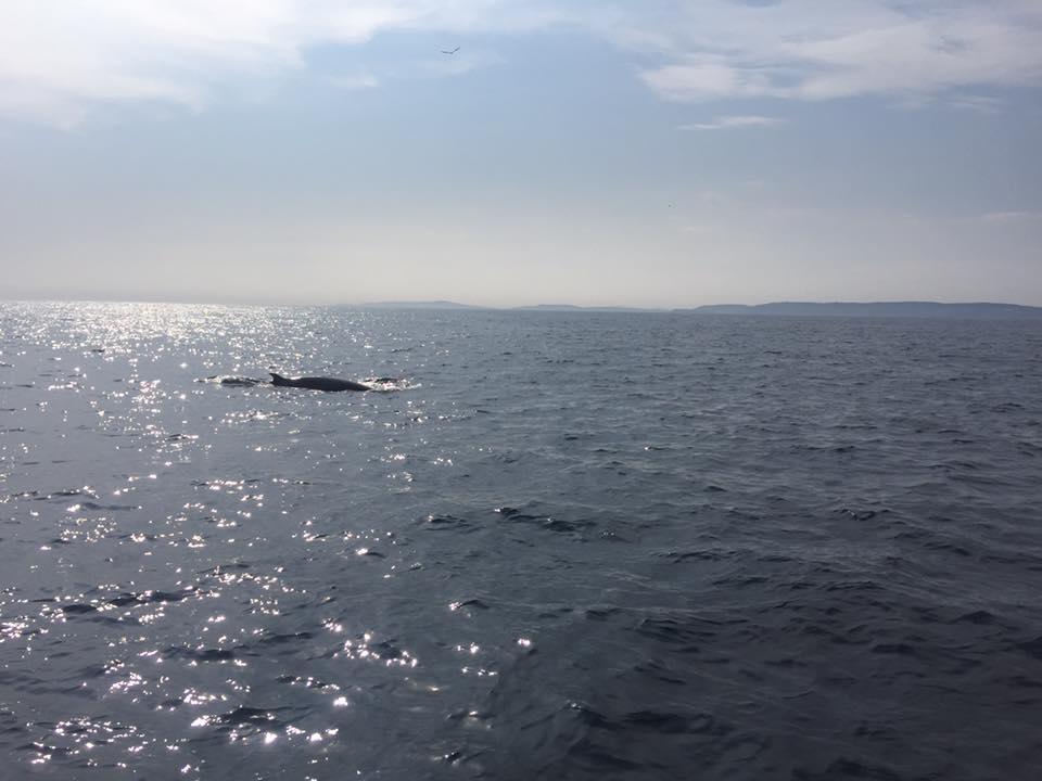 Minke whale-photo credit Alessio Ricco