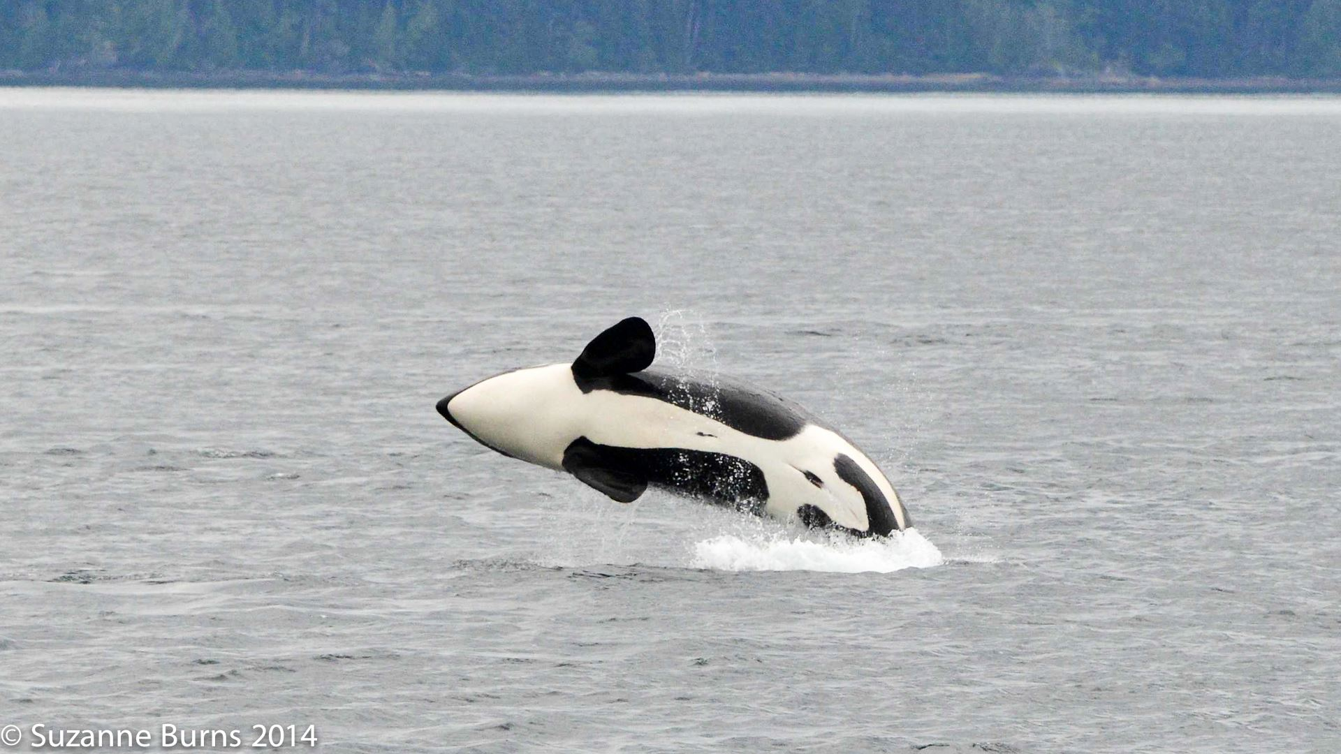 Baby orca breaching-Suzanne Burns