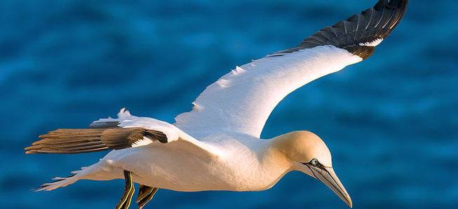 Gannet in flight-Andre Trep